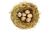 Group of quail spotted eggs in the grassy nest isolated on white — Stock Photo