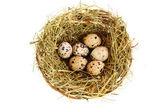 Grupo de ovos de codorna manchado no ninho gramíneo isolado no branco — Fotografia Stock