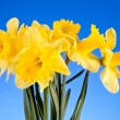 Yellow daffodils on blue background — Stock Photo #6792991