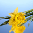 Yellow daffodils on blue background — Stock Photo