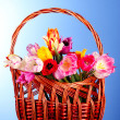 Tulips in basket on blue background — Stock Photo #6793741