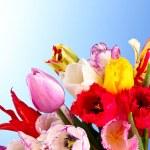 Tulips on blue background — Stock Photo #6793743