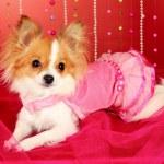 Funny little dog — Stock Photo
