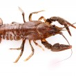 Crayfish isolated on white — Stock Photo