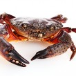 Crab isolated on white — Stock Photo