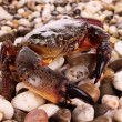 Crab isolated on pebbles background — Stock Photo