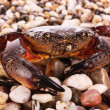 Crab isolated on pebbles background — Stock Photo #6795095