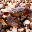 Stock Photo: Crab isolated on pebbles background