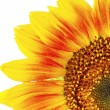 Beautiful bright sunflowers — Stock Photo