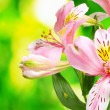 Stock Photo: Pink flowers on green background