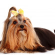 Yorkshire Terrier puppy isolated on white — Stock Photo #6798623