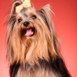 Yorkshire Terrier puppy on red background - Stock Photo