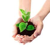 молодое растение в руки над белой — Стоковое фото