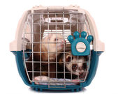 Two Ferrets in cage isolated on white — Stock Photo
