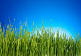 Green grass on blue background — Stock Photo