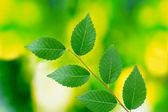 Güzel yeşil dal — Stok fotoğraf