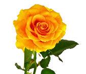 Rose isolated on white — Stock Photo