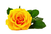 Yellow rose closeup isolated on white — Stock Photo