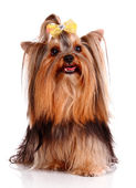 Yorkshire Terrier puppy isolated on white — Stock Photo