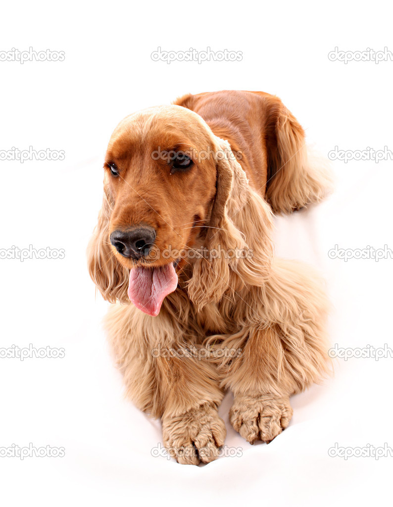 Young cocker spaniel isolated on white — Zdjęcie stockowe #6790576