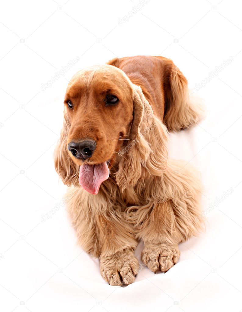 Young cocker spaniel isolated on white — Foto Stock #6790576