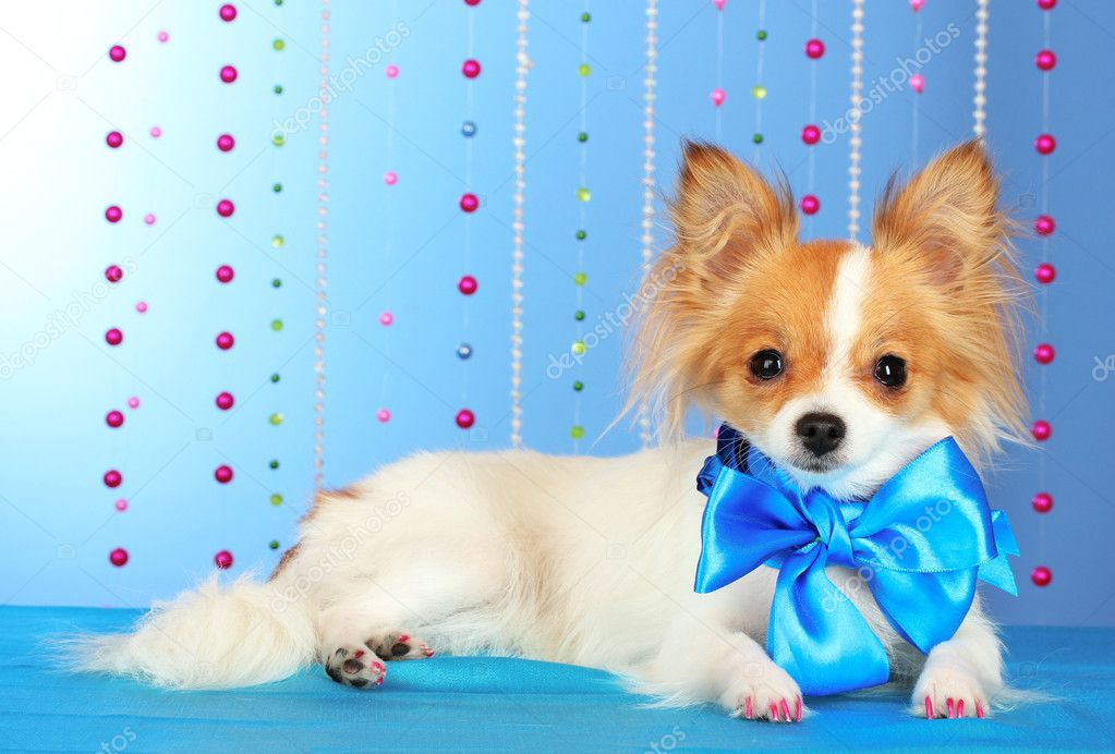 Funny little dog on blue background — Stock Photo #6794472