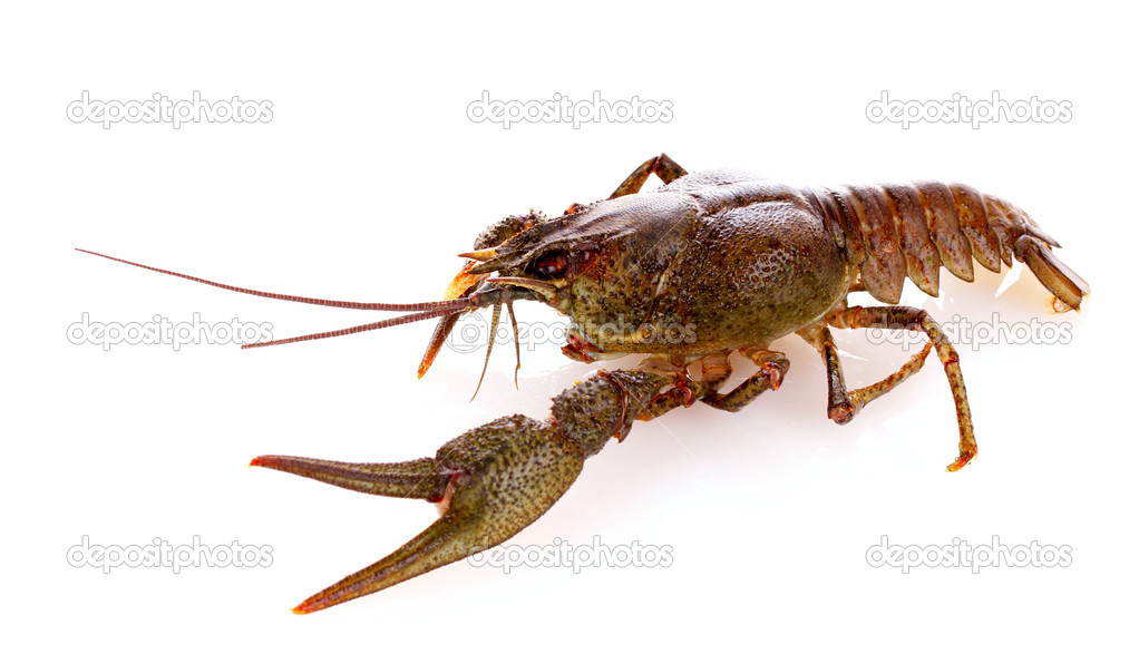 Crayfish isolated on white — Stock Photo #6794972