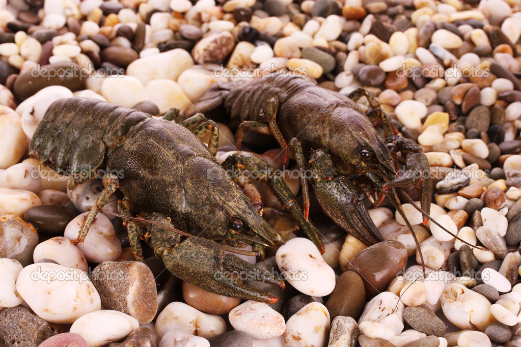 Crayfish on pebble background  Stock Photo #6795116