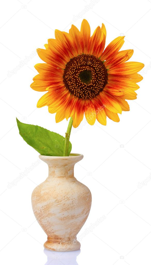 Beautiful sunflower in a vase isolated on white — Stock Photo #6798801