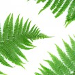 Stock Photo: Three green leaves of fern isolated on white