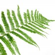 Green leaf of fern isolated on white - Stock Photo