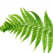Green leaf of fern isolated on white — Stock Photo #6802193