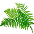Three green leaves of fern isolated on white — Stock Photo