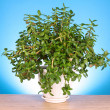 Money tree in flowerpot on a blue  background - Stock Photo