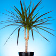 Houseplant dracaena palm in a flowerpot on blue background — Stock Photo