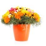 Pot of beautiful orange flowers isolated on white background — Stock Photo