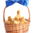 Yellow ducklings in a basket with a bow — Stock Photo #6805635