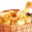 Some ducklings in a basket - Stock Photo