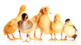 Little yellow ducklings — Stock Photo
