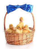 Yellow ducklings in a basket with a bow — Stock Photo