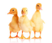 Yellow ducks — Stock Photo