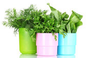 Fresh parsley, sorrel and dill in cups — Stock Photo