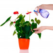 Someone watering flower with spray isolated — Stock Photo