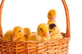 Ördek yavrusu — Stok fotoğraf