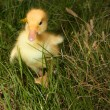 A yellow fluffy ducklings — Stock Photo