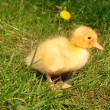 Stock Photo: Cute little duckling in the grass