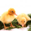 Two yellow fluffy ducklings — Stock Photo #7287402