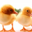 Cute little ducklings isolated and green grass — Stock Photo
