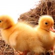 Yellow fluffy ducklings on the hay — Stock Photo