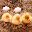 Three yellow fluffy ducklings with eggs — Stock Photo #7287468